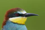European Bee-Eater (Merops Apiaster) Head Portrait, Pusztaszer, Hungary, May 2008 Photographic Print by Varesvuo