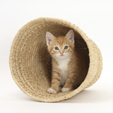 Ginger Kitten Hiding in a Raffia Basket Photographic Print by Mark Taylor