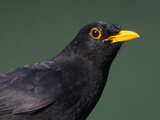 Blackbird (Turdus Merula) Male, Portrait, Pusztaszer, Hungary, May 2008 Photographic Print by Varesvuo