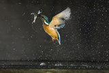 Kingfisher (Alcedo Atthis) in Flight Carrying Fish, Balatonfuzfo, Hungary, January 2009 Photographic Print by  Novák