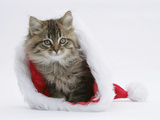 Maine Coon Kitten, 8 Weeks Old, in a Father Christmas Hat Photographic Print by Mark Taylor
