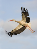 White Stork (Ciconia Ciconia) in Flight, Rusne, Nemunas Regional Park, Lithuania, June 2009 Photographie par  Hamblin