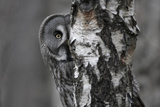 Great Grey Owl (Strix Nebulosa) Peering around Birch Tree, Bergslagen, Sweden, June 2009 Photographic Print by  Cairns