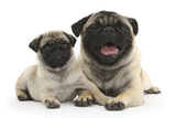 Fawn Pug and 8 Week Puppy Photographic Print by Mark Taylor