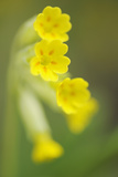 Cowslip (Primula Veris) Flowers, Kallhall, Uppland Sweden, May 2009 Photographic Print by  Widstrand