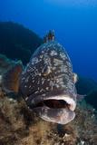 Dusky Grouper (Epinephelus Marginatus) Lavezzi Islands, Corsica, France, September Papier Photo par  Pitkin