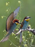 European Bee-Eater (Merops Apiaster) Pair, Pusztaszer, Hungary, May 2008 Photographic Print by Varesvuo
