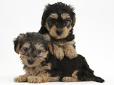 Two Yorkipoo Pups, 7 Weeks Old Photographic Print by Mark Taylor