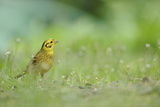 Yellowhammer (Emberiza Citrinella) on Grass. Perthshire, Scotland, June Photographie par Fergus Gill