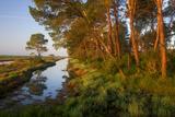 Pine Trees at Sunrise in Delta, Karavasta Lagoons National Park, Albania, June 2009 Photographic Print by  Geidemark