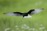 White Winged Black Tern (Chlidonias Leucopterus) in Flight, Prypiat River, Belarus, June 2009 Photographic Print by  Máté