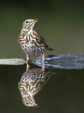 Song Thrush (Turdus Philomelos) at Water, Pusztaszer, Hungary, May 2008 Photographic Print by  Varesvuo