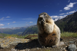 Alpine Marmot (Marmota Marmota) Feeding, Hohe Tauern National Park, Austria, July 2008 Fotografisk tryk af  Lesniewski