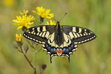Swallowtail Butterfly (Papilio Machaon Britannicus) on Hawkbit Flower. Strumpshaw Fen, Norfolk Photographic Print by Terry Whittaker