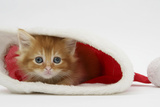 Ginger Kitten in a Father Christmas Hat Photographic Print by Mark Taylor