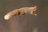 Red Squirrel (Sciurus Vulgaris) Jumping with Nut in Mouth, Cairngorms National Park, Scotland Photographic Print by Peter Cairns
