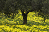 Olive Trees with Flowering Bermuda Buttercups (Oxalis Pes Caprae) Kaplika, Cyprus, April Photographic Print by  Lilja