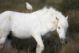 White Camargue Stallion with a Cattle Egret (Bulbulcus Ibis) on His Back, Camargue, France Photographic Print by  Allofs