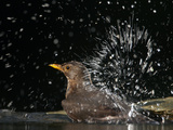 Blackbird (Turdus Merula) Female Bathing, Pusztaszer, Hungary, May 2008 Photographic Print by Varesvuo