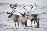 Three Reindeer (Rangifer Tarandus) in Snow, Forollhogna Np, Norway, September 2008 Photographic Print by  Munier