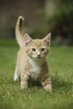 Ginger Kitten Walking on Lawn Photographic Print by Mark Taylor