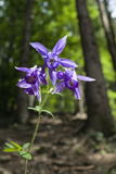 Columbine (Aquilegia Sp) in Flower, Slovak Paradise National Park, Slovensky Raj, Slovakia, May Photographic Print by  Wothe
