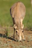 Female Saiga Antelope (Saiga Tatarica) Feeding, Cherniye Zemli (Black Earth) Nr, Kalmykia, Russia Photographic Print by  Shpilenok