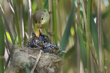 Reed Warbler(Acrocephalus Scirpaceus) Feeding European Cuckoo(Cuculus Canorus) Chick in its Nest,Uk Reproduction photographique par David Tipling