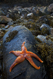 Starfish on Rock at Low Tide, Dail Beag Beach, Lewis, Outer Hebrides, Scotland, UK, June 2009 Photographic Print by Muñoz
