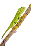 Common Chameleon (Chameleo Chameleo) on Branch, Huelva, Andalucia, Spain, April 2009 Photographic Print by  Benvie