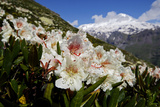 Caucasian Rhododendron Lowers with Mount Elbrus in the Distance, Caucasus, Russia, June Photographic Print by  Schandy