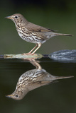 Song Thrush (Turdus Philomelos) at Water, Pusztaszer, Hungary, May 2008 Reproduction photographique par  Varesvuo