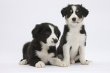 Two Border Collie Puppies Photographic Print by Mark Taylor