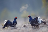 Black Grouse (Tetrao Tertrix) Males Fighting with Breath Condensing, Bergslagen, Sweden, April Photographic Print by E. Haarberg