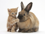 Ginger Kitten with Paw over Mouth of Lionhead-Cross Rabbit Photographic Print by Mark Taylor