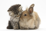 Tabby Kitten, 10 Weeks, and Young Rabbit Reproduction photographique par Mark Taylor