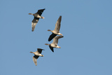 Pink-Footed Geese (Anser Brachyrynchus) in Flight, Norfolk, UK, January Photographic Print by David Tipling