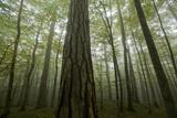 Black Pines (Pinus Nigra) and Beech Trees in Mist, Crna Poda, Tara Canyon, Durmitor Np, Montenegro Photographic Print by  Radisics