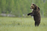European Brown Bear (Ursus Arctos) Standing on Hind Legs, Kuhmo, Finland, July Photographic Print by  Widstrand