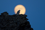 Gyrfalcon (Falco Rusticolus) Silhouetted at Full Moon, Myvatn, Thingeyjarsyslur, Iceland, April Photographic Print by  Bergmann