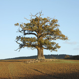 English Oak (Quercus Robur) Standing Solitary in a Field in Winter. Surrey, UK, November Photographic Print by Mark Taylor