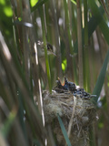 Reed Warbler (Acrocephalus Scirpaceus) Feeding Cuckoo Chick (Cuculus Canorus) Fenland, Norfolk, May Reproduction photographique par David Tipling