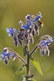 Worker Honey Bee (Apis Mellifera) Feeding on Nectar of Borage (Borago Officinalis) Flower, UK Photographic Print by Chris Gomersall