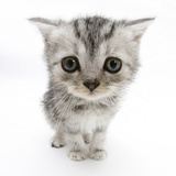 Silver Tabby Kitten with Big Eyes Photographic Print by Mark Taylor