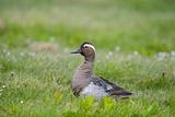 Garganey Duck (Anas Querquedula) Drake Calling, Cley, Norfolk, UK, May Photographic Print by David Tipling