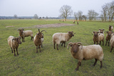 Manx Loaghtan Sheep (Ovis Aries) on Minsmere Rspb Reserve, Suffolk, UK Photographic Print by David Tipling