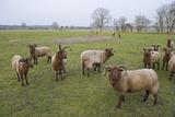 Manx Loaghtan Sheep (Ovis Aries) on Minsmere Rspb Reserve, Suffolk, UK Photographic Print by David Tipling