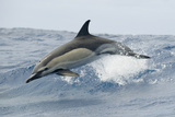 Common Dolphin (Delphinus Delphis) Jumping, Pico, Azores, Portugal, June 2009 Photographic Print by  Lundgren