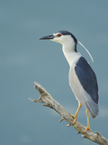 Night Heron (Nycticorax Nycticorax) on Branch, Lake Kerkini, Macedonia, Greece, May 2009 Photographic Print by  Widstrand