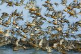 Dunlin (Calidris Alpina) and Knot (Calidris Canutus) Flock Taking Off, Grossmorsum, Sylt, Germany Photographic Print by Novák